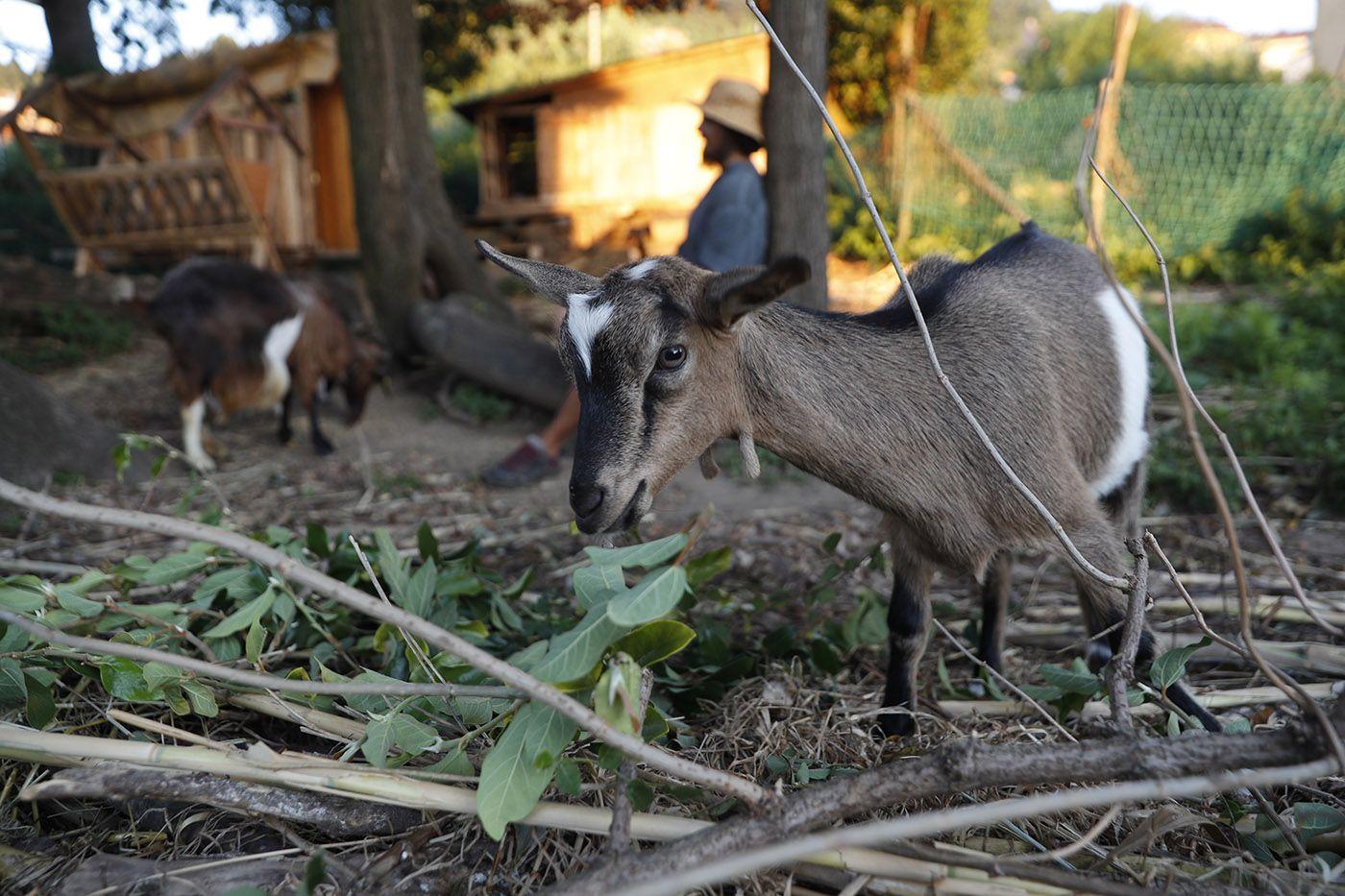 xulián martínez con sus cabras desbrozadoras_grobas (7).jpg