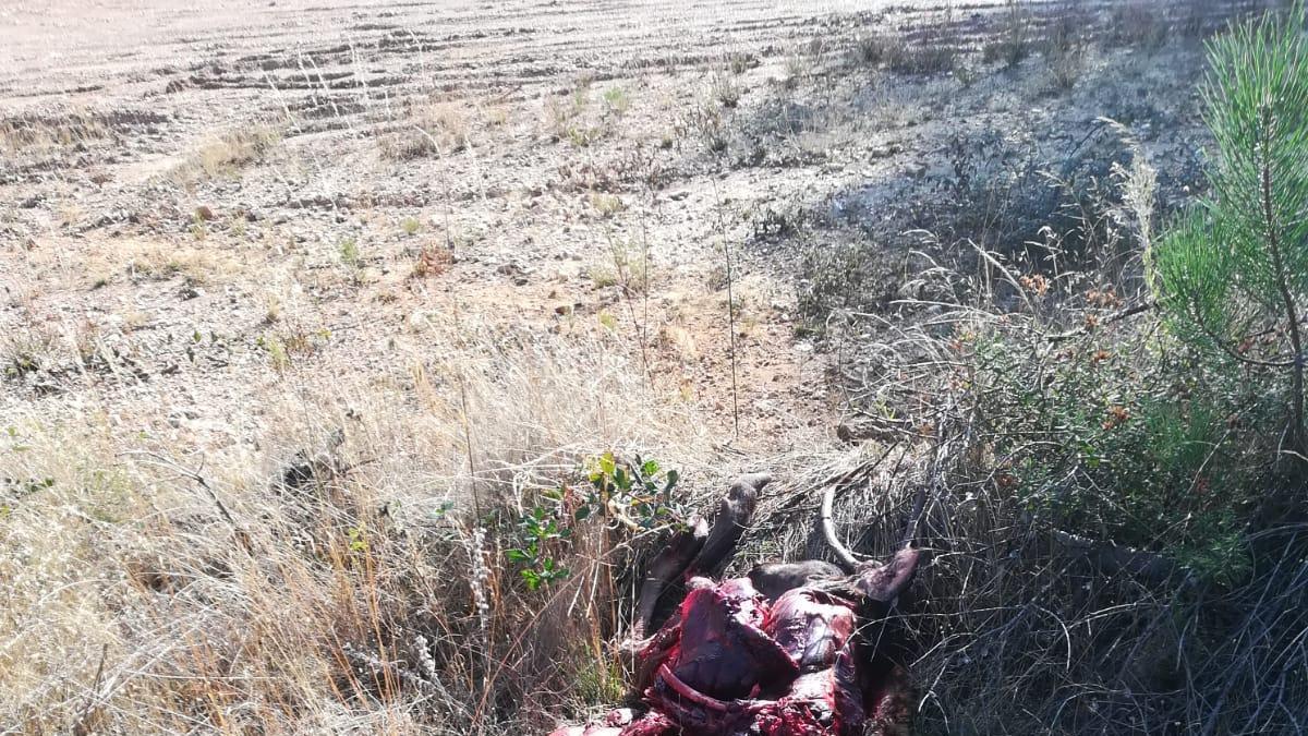 Uno de los ciervos muertos por accidentes en la carretera N-122