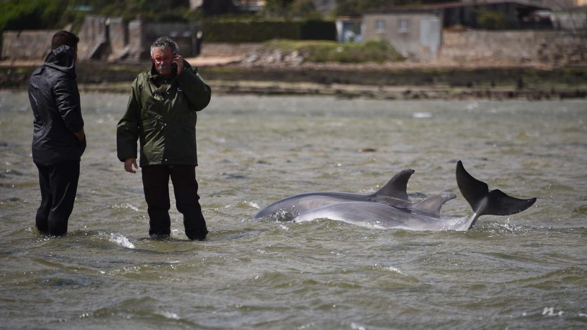 """Los delfines mulares (madre e hijo) que vararon en las """"pozas"""" formadas con la bajamar en A Vía (A Toxa) en abril de 2016."""