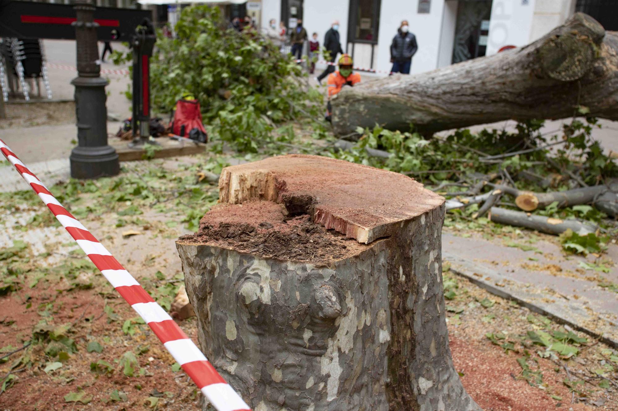 Talan cinco plataneros de grandes dimensiones en mal estado en la Albereda de Xàtiva