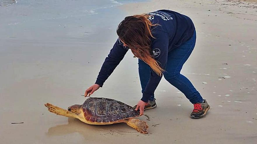 Tortugas rescatadas en Baleares: el 37% estaban enmalladas