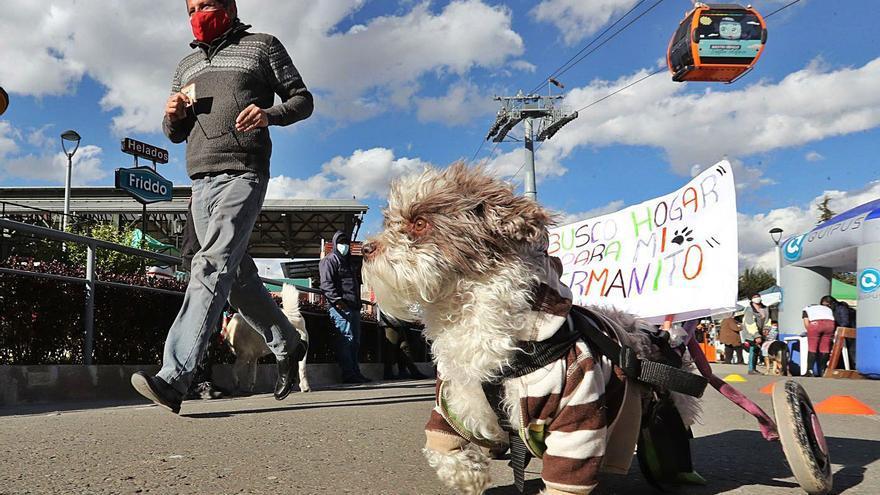 Avilés mantiene a 21 perros abandonados, quince considerados de raza peligrosa