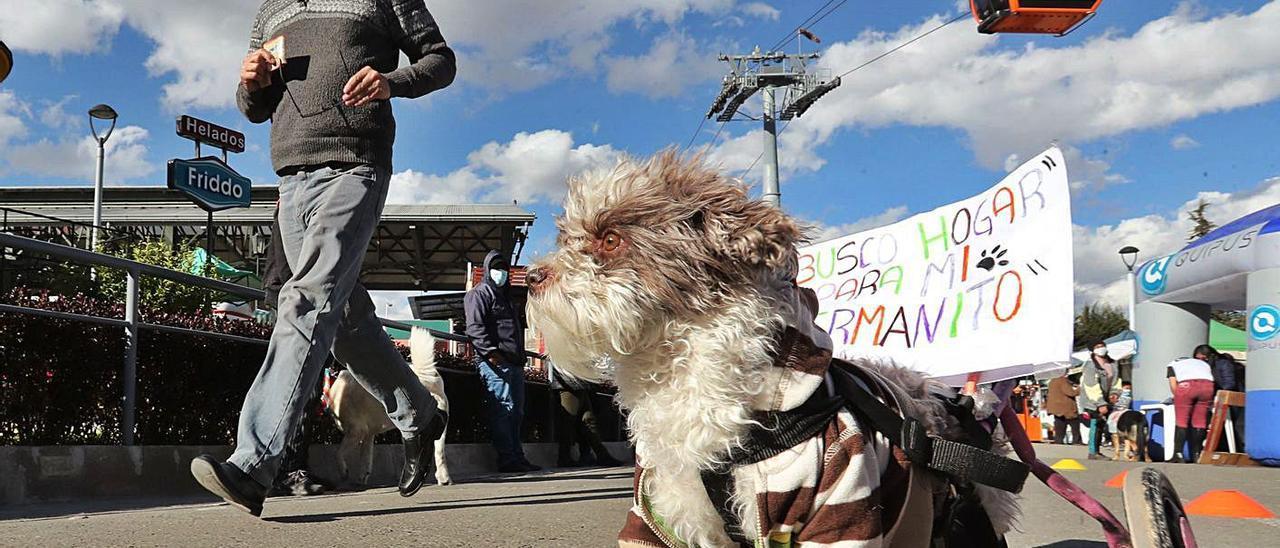 Desfile de perros abandonados en busca de ser adoptados, en Bolivia.