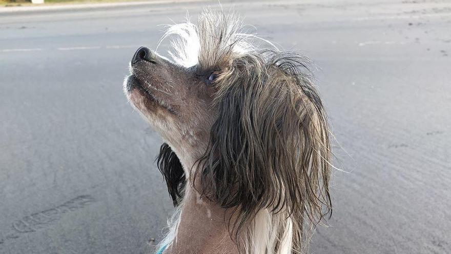 La perrita Cruela que desapareció en Roales del Pan y apareció en Zamora capital.