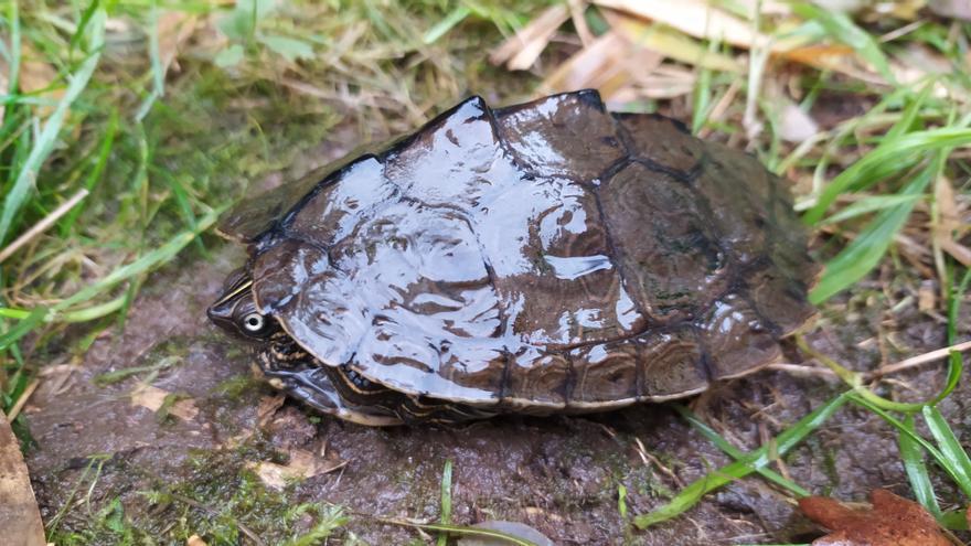 Encuentran a una tortuga del Mississipi en el río Miño