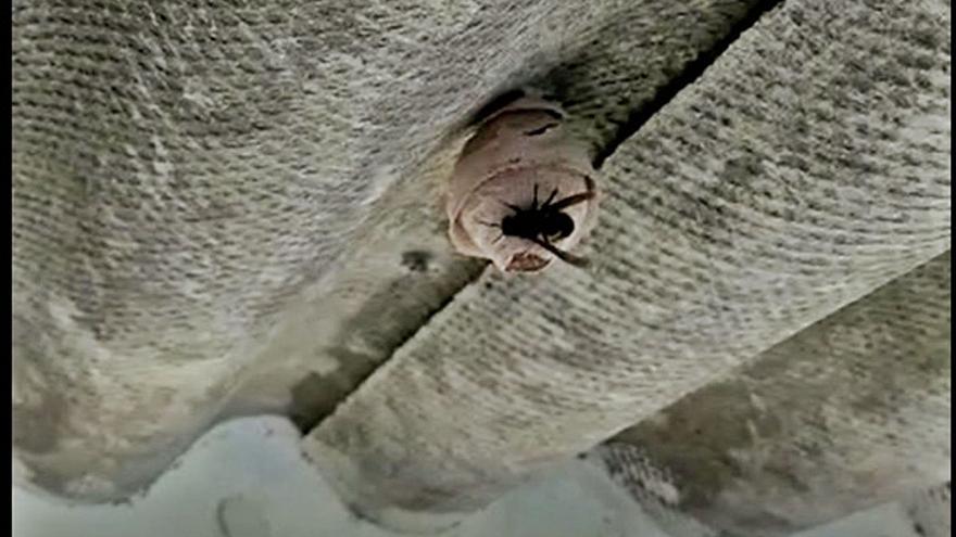 Retirado uno de los primeros nidos primarios de velutina en Moaña