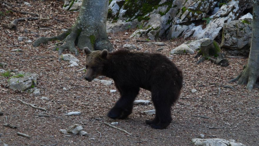 ASAJA y UAGA instan al Gobierno de Aragón a la captura y retirada del oso Goiat del Pirineo