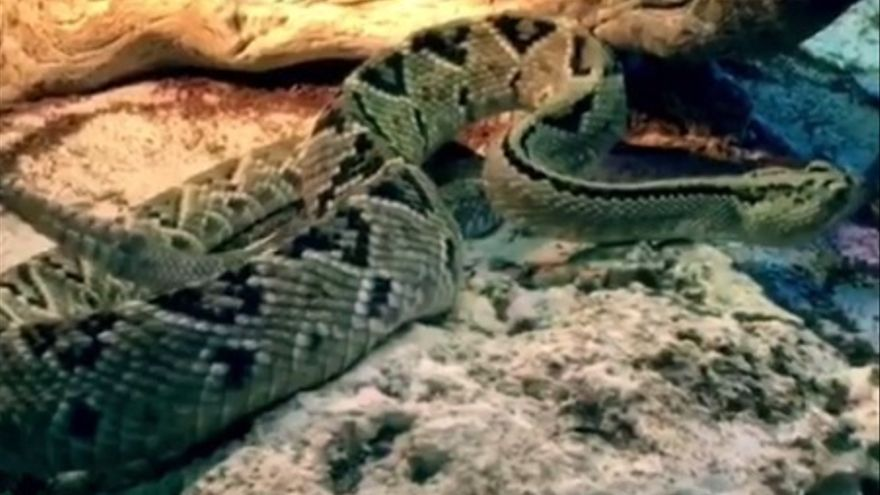 La Guardia Civil busca una serpiente en Toledo que mordió a un hombre que está en la UCI