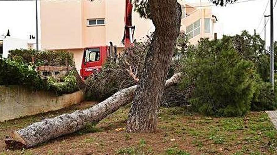 Un vecino de Ibiza se sube a un árbol para evitar su tala