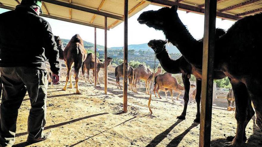 El covid deja a los camellos en el paro
