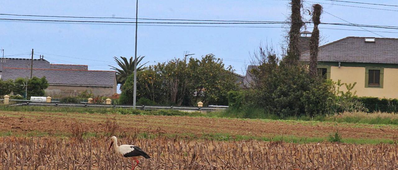 Una de las cigüeñas, buscando comida en un maizal, en Serantes; al fondo, el nido con el otro ejemplar. | T. Cascudo