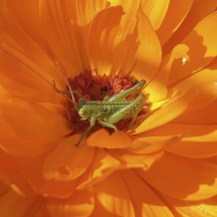 Naturalesa. Una lectora ens envia aquesta curiosa foto on podem observar un insecte reposant a sobre d'una flor de color taronja ben intens.