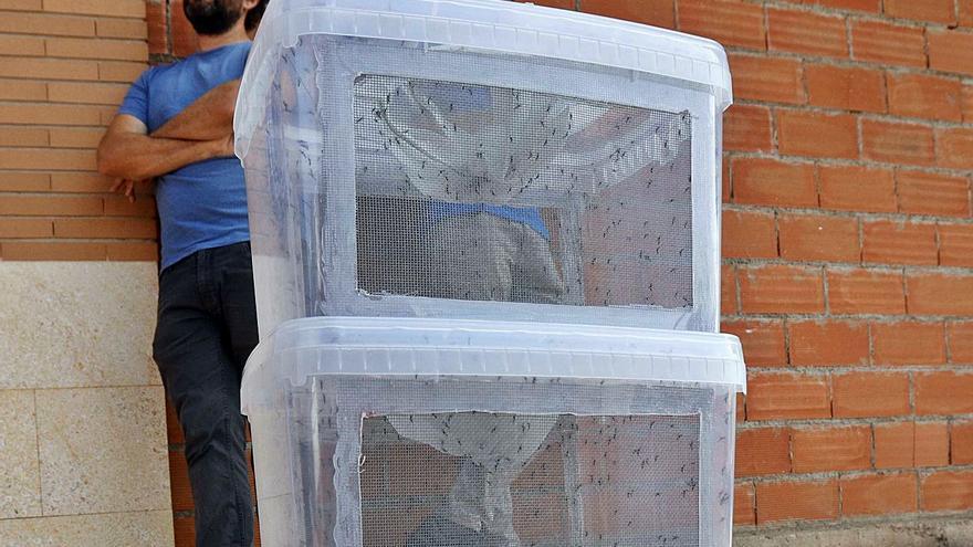 La lucha biológica del mosquito tigre se amplía a Riola y Benicull