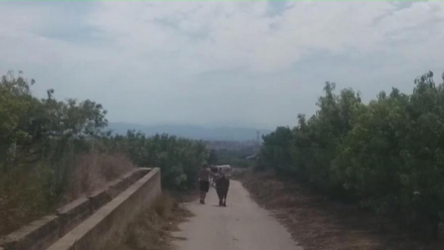 Dos toros bravos vagan más de 24 horas por Alfarp tras escaparse de un corral