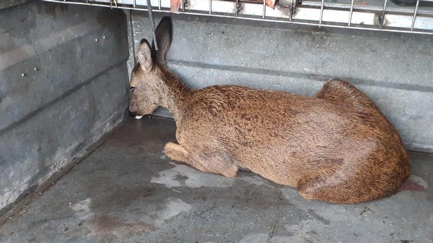 Rescatan a un corzo malherido localizado en una cuneta en Mesego, Cuntis