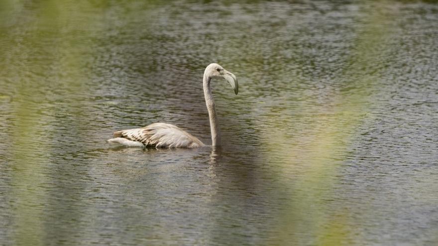 Un flamenco solitario visita las lagunas del Paisaje Protegido de la Desembocadura del río Mijares