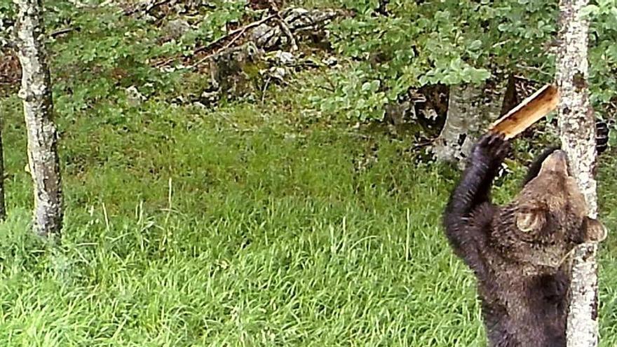 Los osos se comunican con marcas en los árboles