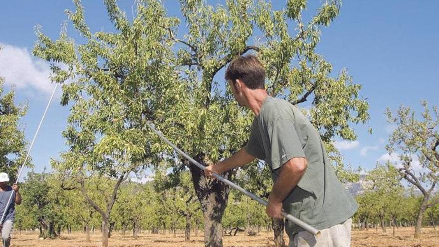 Feuerbakterium: EU erspart Mallorca großflächiges Abholzen