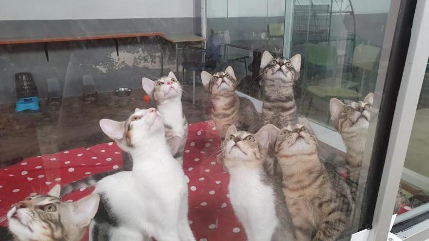 La SPAB alerta de la gran quantitat de ventrades de gats al refugi de Burjassot