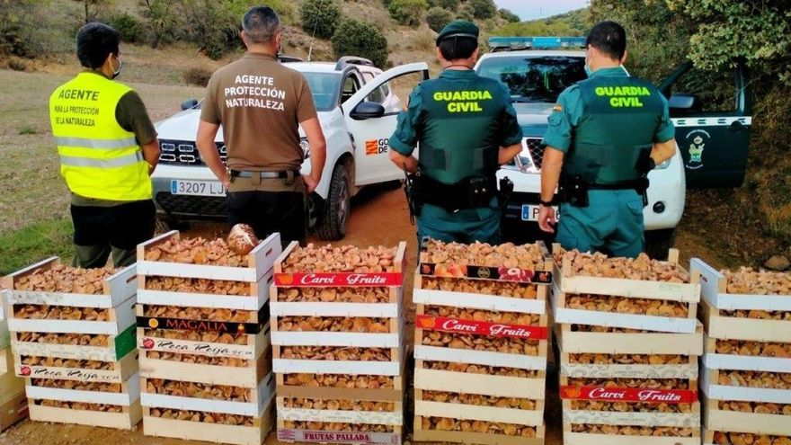 Intervenidos más de 160 kilos de rebollones en Villalengua recolectados ilegalmente