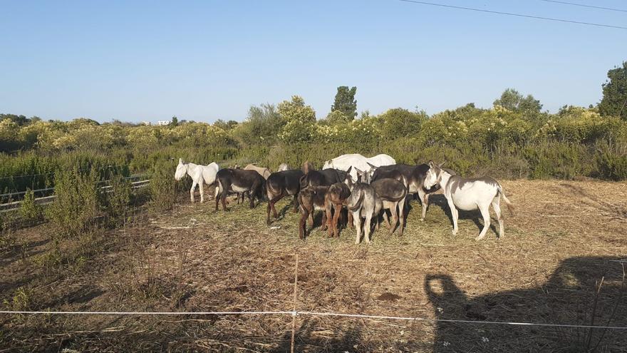Recuperar el burro para evitar incendios en el Desert de les Palmes