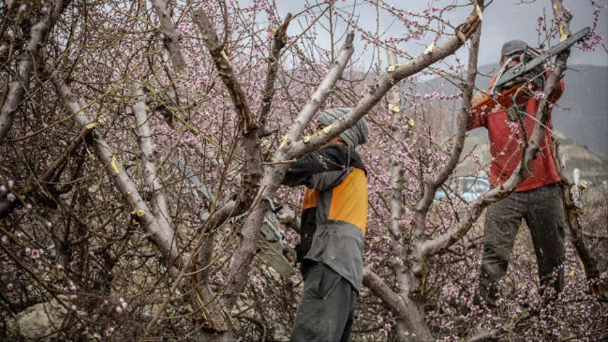 Un agricultor del Bacarot reduce a leña 15 hectáreas de árboles frutales asfixiado por los precios miserables