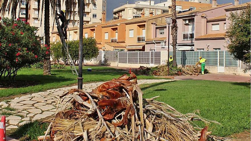 Oliva empieza la poda de palmeras y la gestión de sus residuos