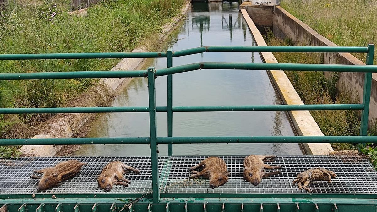 Animales muertos en el Canal Principal de Llíria