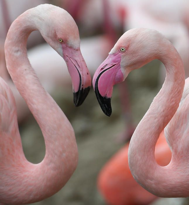 Boniques imatges dels flamencs del Zoo de Hellabru
