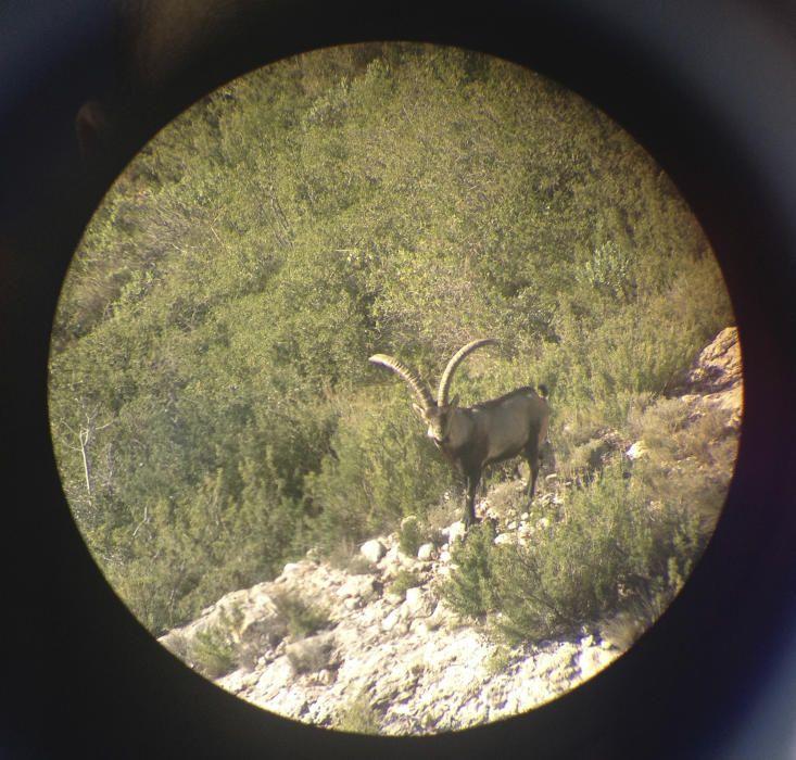 Cabra. Un dels nostres lectors va poder captar aquesta imatge. Es tracta  d'un mascle de cabra salvatge, que ocupen hàbitats molt variats però tots amb escarpaments rocosos, des de prop del mar fins a l'alta muntanya.