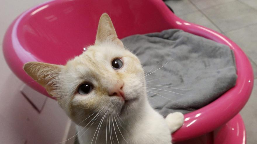 Los gatos pueden contagiarse de covid-19 al dormir en la cama de su dueño