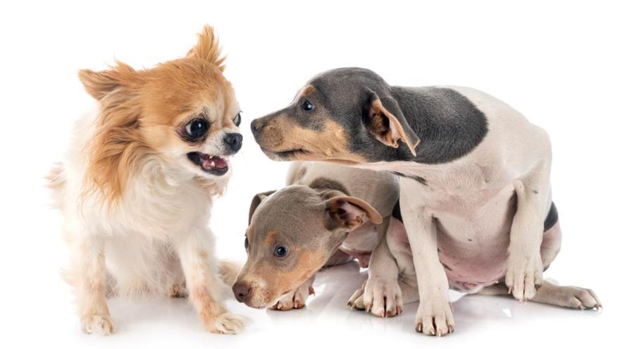 ¿Son los perros pequeños más agresivos que los grandes?