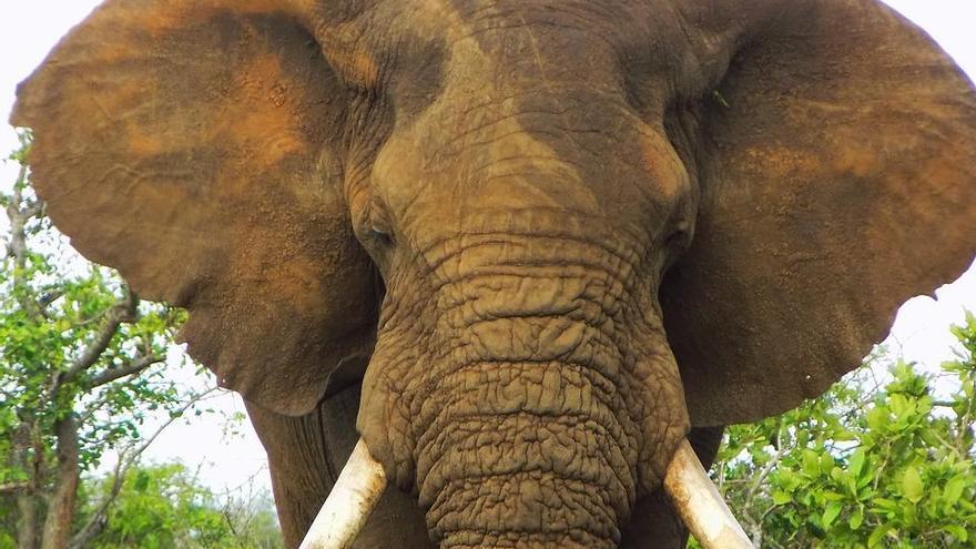 El CSID salva a los elefantes