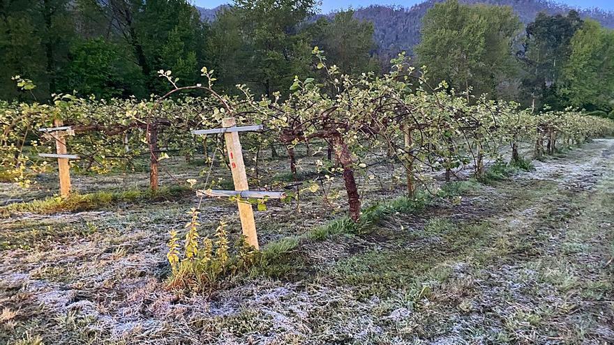 La heladona sorpresa de la primavera deja temblando a los cultivos asturianos