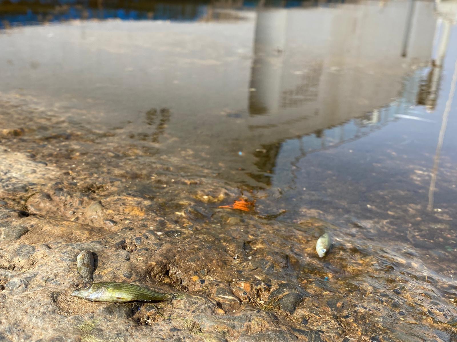 Miles de peces muertos aparecen a orillas del Mar Menor