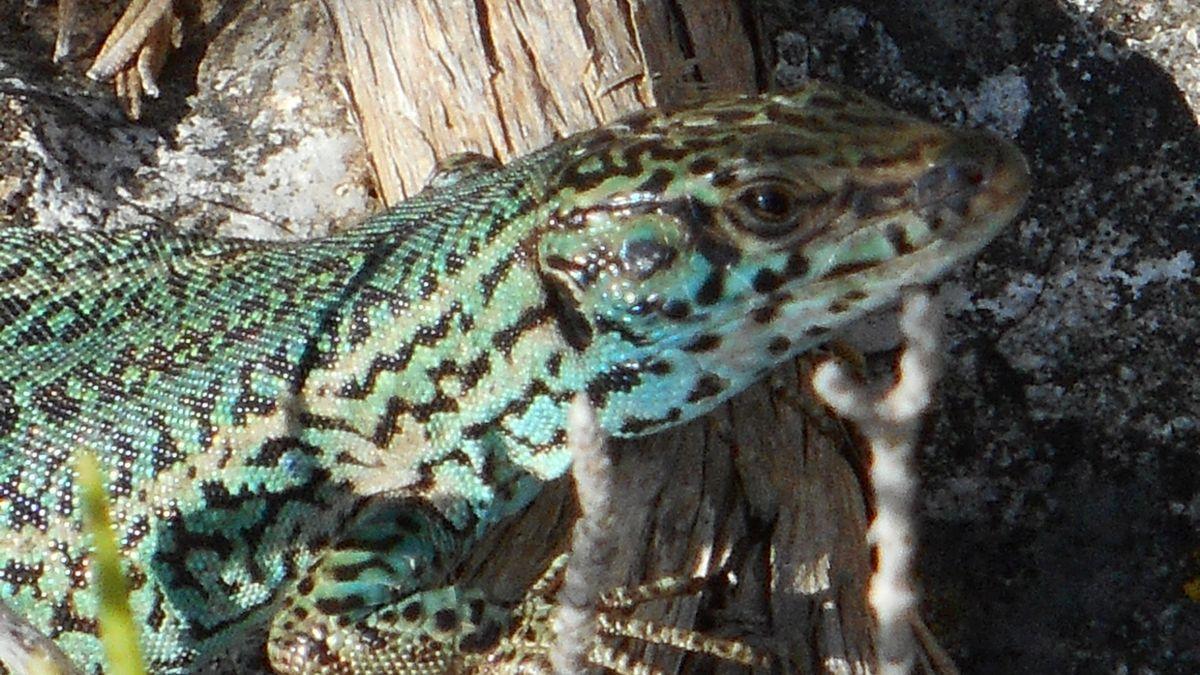 Imagen de archivo de una lagartija ibicenca.