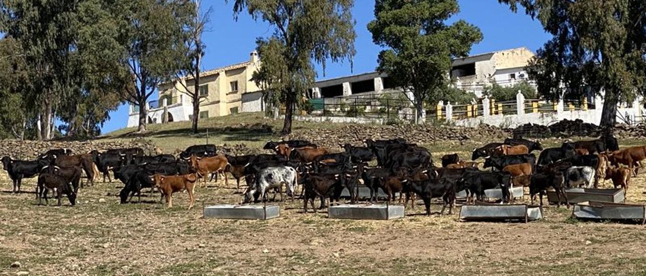 Los Carnicer se han hecho con 270 cabezas entre madres, toros, utreros y sus crías.