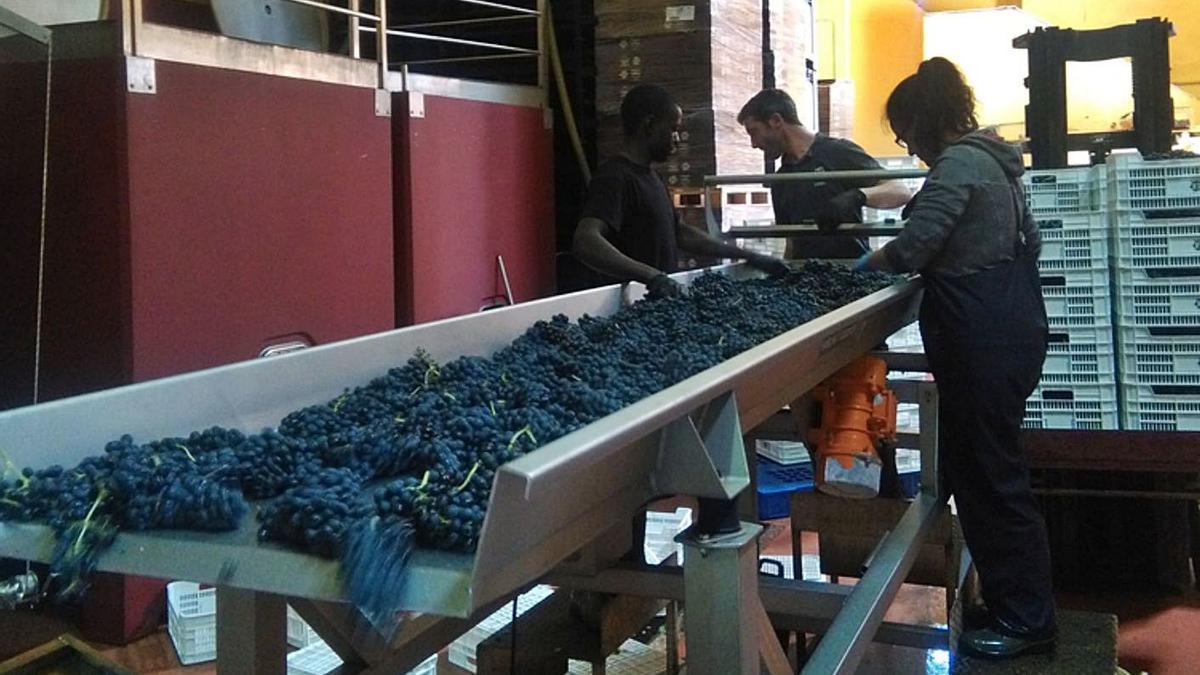 Trabajadores de una bodega de Toro separan racimos de uva en una mesa de selección. | M. J. C.