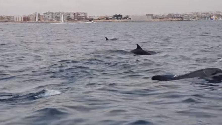Espectacular avistamiento de delfines en la bahía de Torrevieja