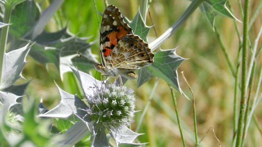 Südwind und Wärme: viele Schmetterlingen auf Mallorca