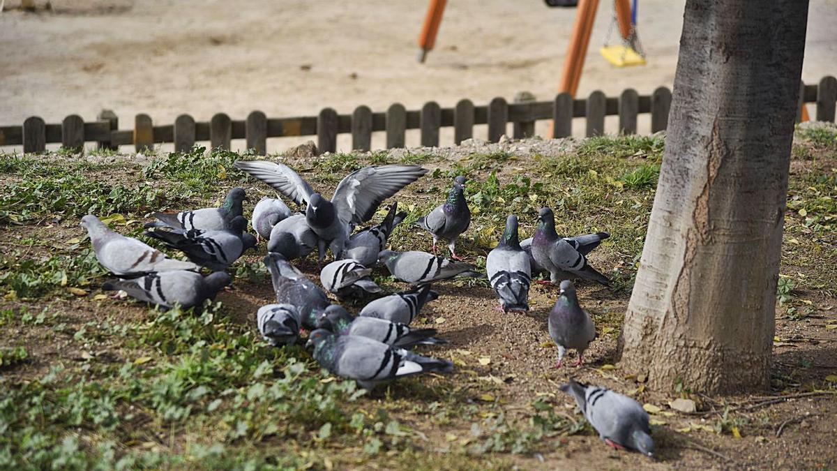 Coloms alimentant-se al costat d'un parc infantil a Manresa   ARXIU/MIREIA ARSO