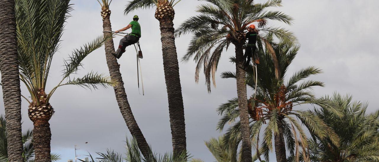 Imagen de archivo de palmereros haciendo una tala en Elche