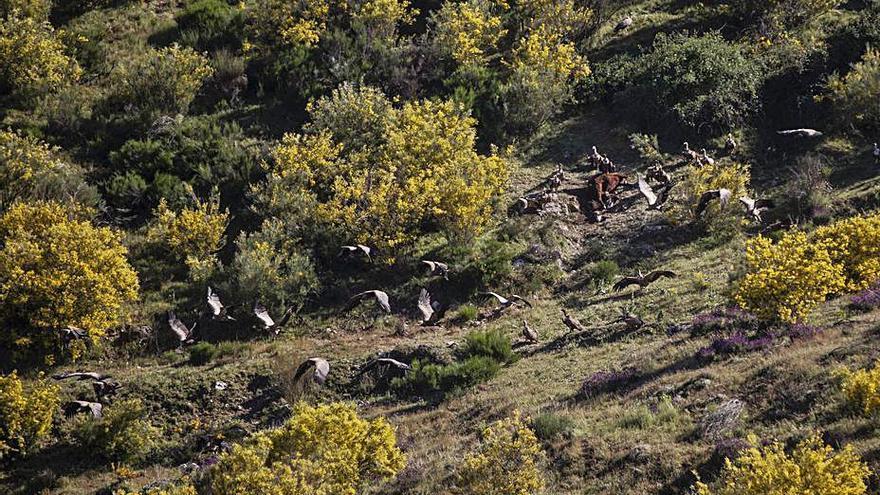 Zamora, modelo en la nutrición de aves necrófagas con restos de ganado