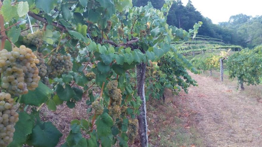 Adjudicada la cosecha de uva del castillo de Soutomaior a la bodega Quinta das Eiras