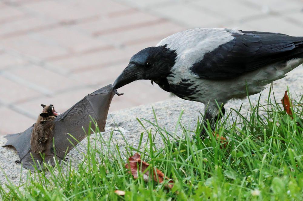 A crow attacks a bat in central Kyiv