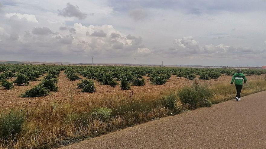 """La DO Toro augura una """"buena cosecha"""" ante el óptimo cuajado de la uva"""
