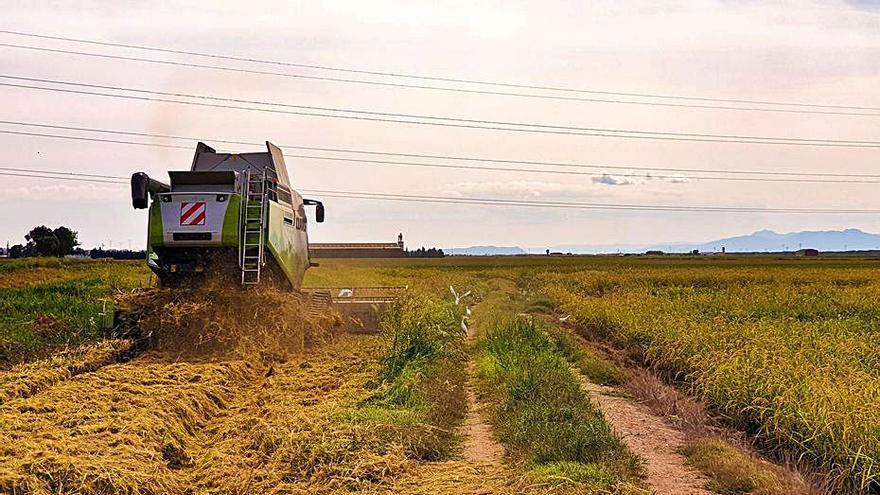 Alfafar inicia la campaña de recogida de arroz  en las 840 hectáreas de marjal