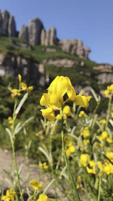 Ginesta. És una planta amb flor de la família de les Fabaceae. És l'única espècie del gènere Spartium, de la tribu Genisteae. La paraula deriva del llatí genista amb la mateixa significació.