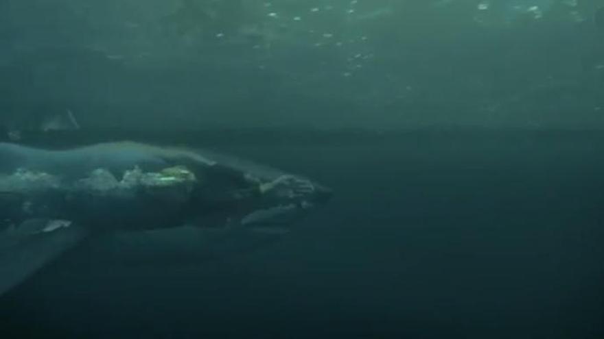 Así fue el reto de Phelps contra un tiburón