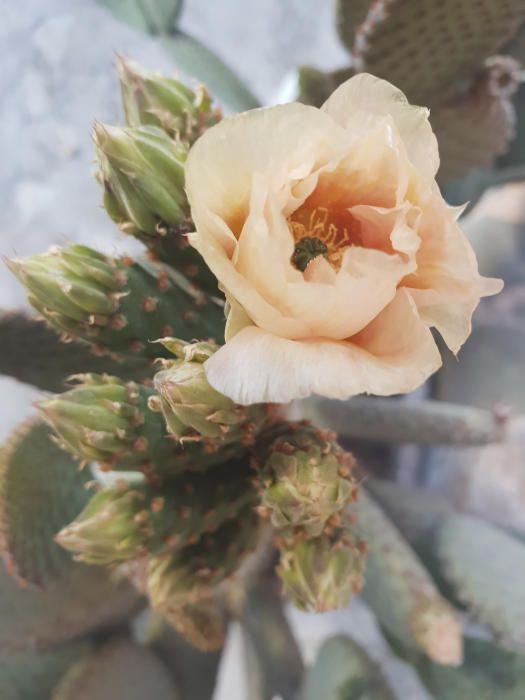 Flor de la figuera de moro. Les flors, en forma de corona, neixen de les arèoles en les vores dels segments. Floreix una vegada l'any, i tant el fruit com la flor poden ser de diversos colors, des del groc fins al vermell.